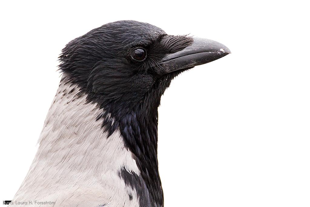 Sivulta otettu pääkuva variksesta valkoisella taustalla. Varis katsoo kaukaisuuteen. Kuvan päällä teksti. Kuva: Laura H. Forsström