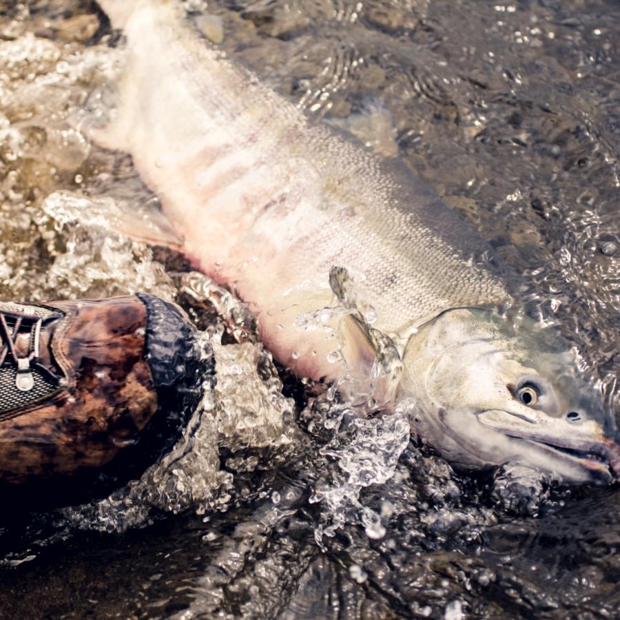 Kuvassa isokokoinen kala makaa kyljellään rantakivillä ja ihmisen kenkä lähestyy uhkaavasti.