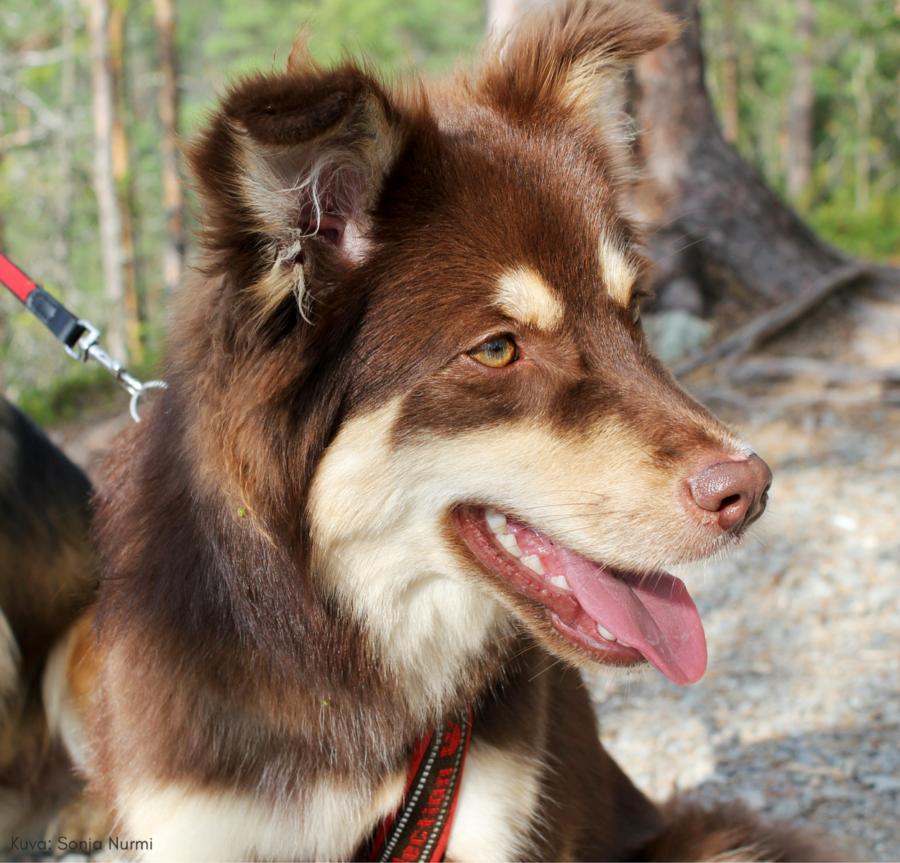 Pääkuva ruskeasta koirasta, jolla punaiset valjaat ja hihna. Taustalla metsikköä. Kuvan päällä teksti: Kuva: Sonja Nurmi.
