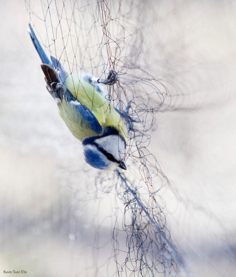 Sinitiainen roikkuu ylösalaisin sotkeutuneena verkkoon. Kuvan päällä teksti: Kuva: Suvi Elo