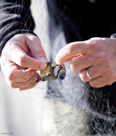 Kuvassa miehen kädet jotka irroittavat verkoon sotkeutunutta sinitiaista verkosta. Kuvan päällä teksti: Kuva: Suvi Elo