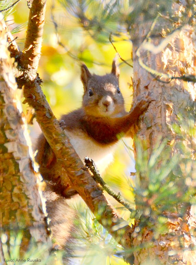 Kuvassa orava keikkuu puun oksalla ja katsoo suoraan kameraan. Taustalla syksyisiä puita. Kuvan päällä teksti: Kuva: Anne Ruuska.