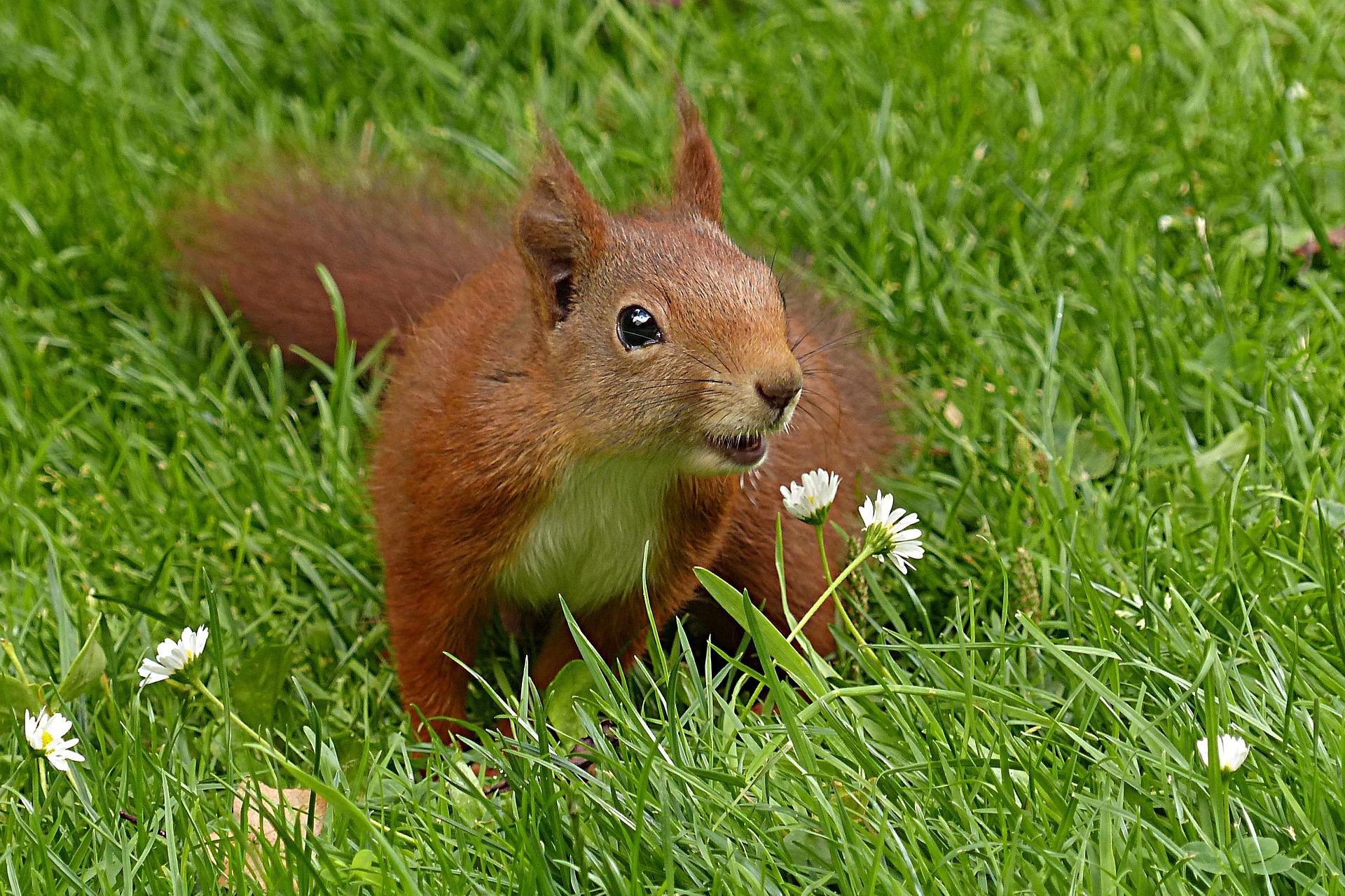 Kuvassa iloisen näköinen orava vihreällä nurmella.