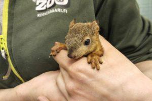 Oravan poikanen pääsi hoitoon Korkeasaaren Villieläinsairaalaan. Kuva:Anne Hirvonen/Korkeasaaren eläintarhan arkisto