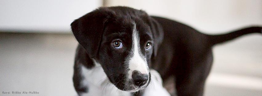 Mustavalkoinen luppakorvainen koiranpentu katsoo kameraan.
