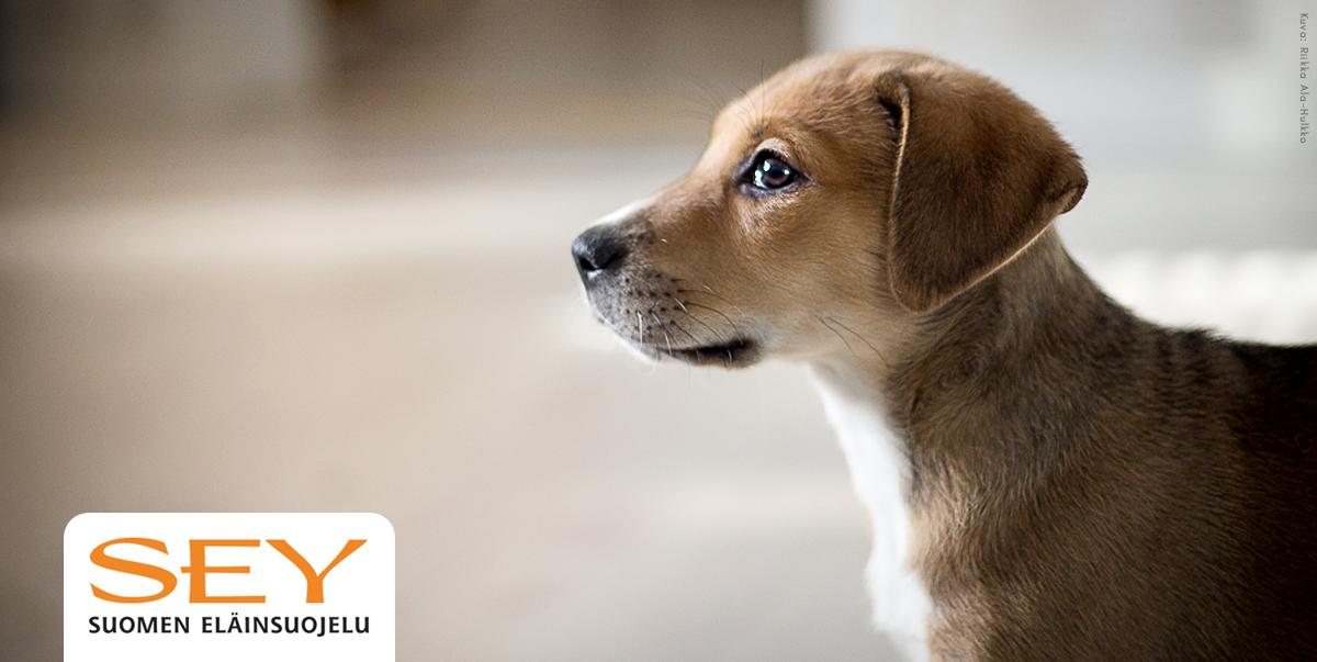 Ruskea luppakorvainen koiranpentu jossa on vähän valkoista on sivuttain kameraan nähden ja vilkaisee silmäkulmansa alta kuvaajaa.