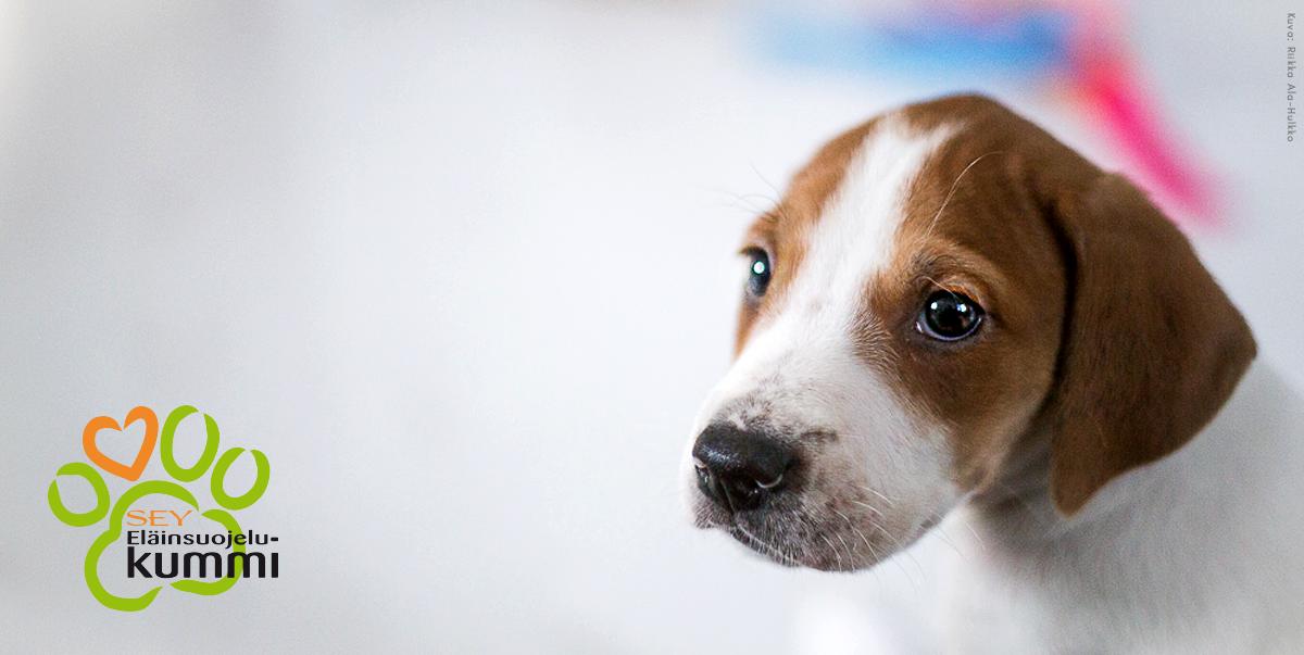 Pieni ruskeavalkoinen luppakorvainen koiranpentu katsoo hieman kameran ohi suurilla silmillään. Lisäksi Eläinsuojelukummi-logo.