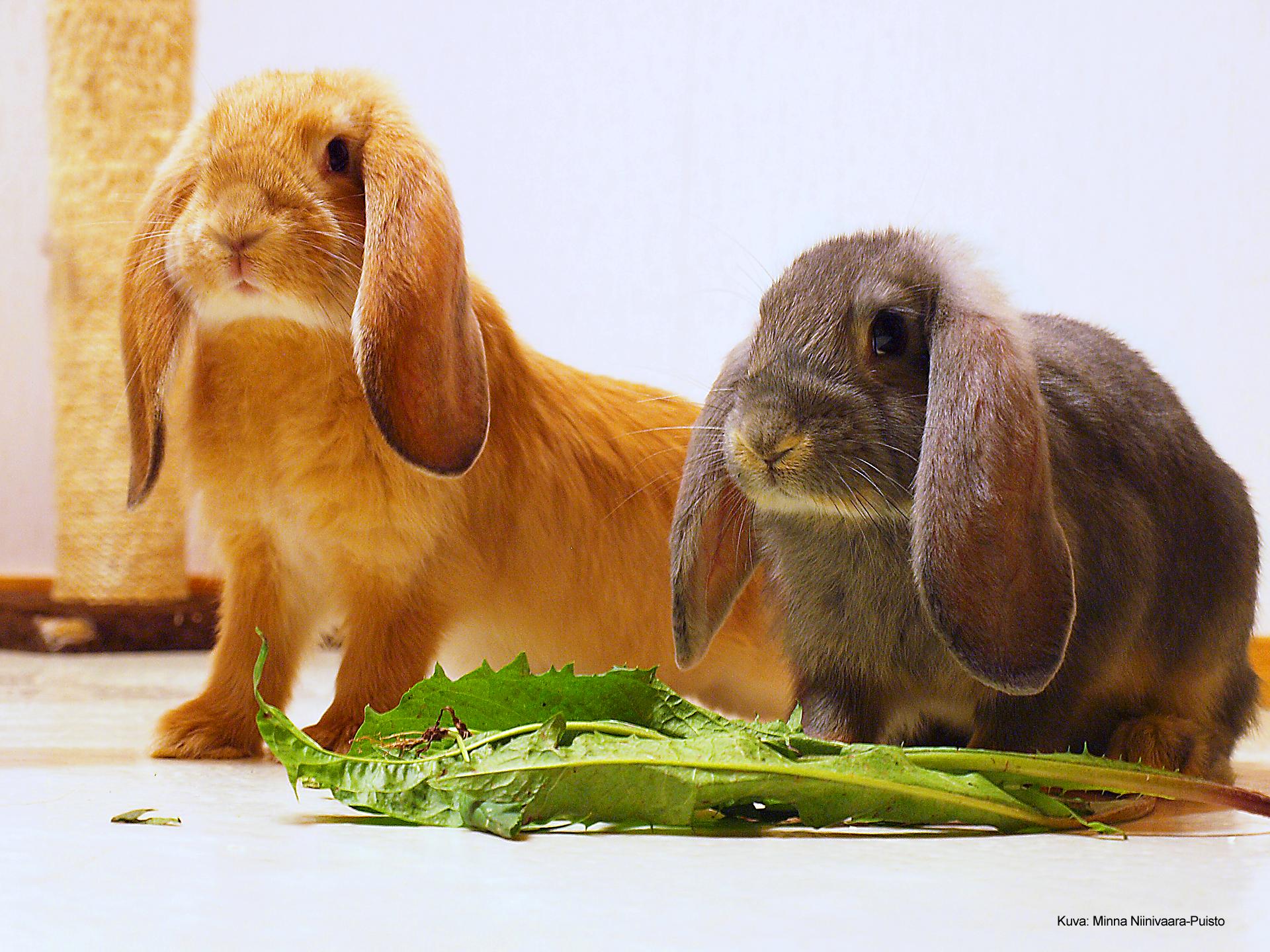 Kaksi luppakorvakania salaatinlehden äärellä.