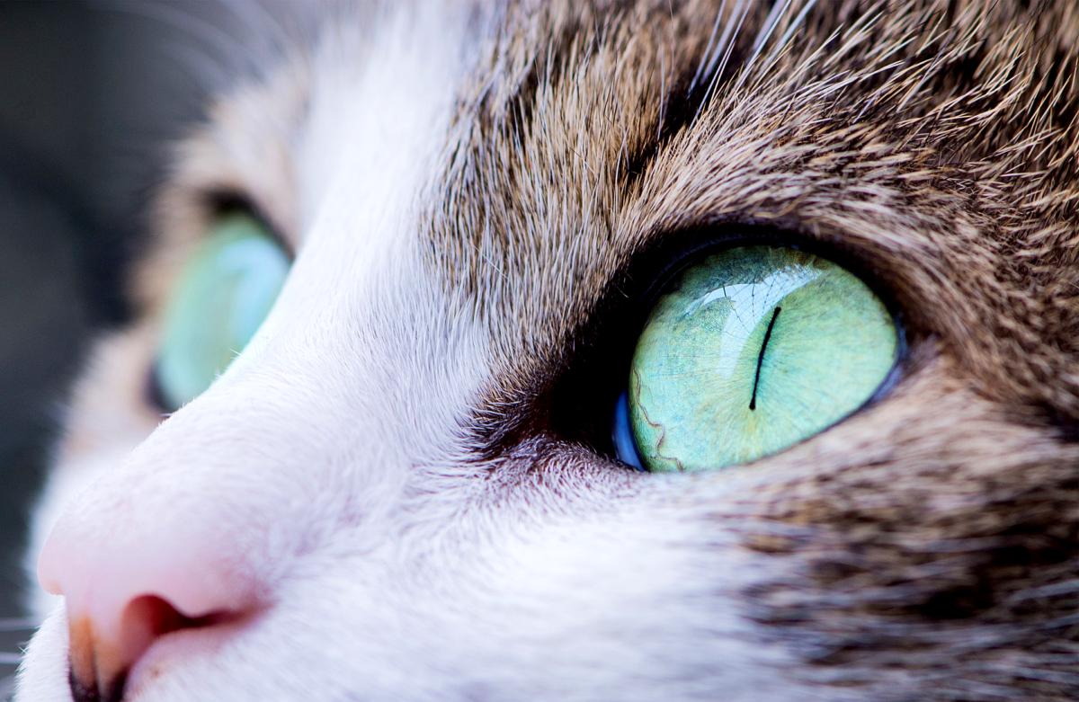 Lähikuva kissan silmistä joka katsoo kaukaisuuteen.