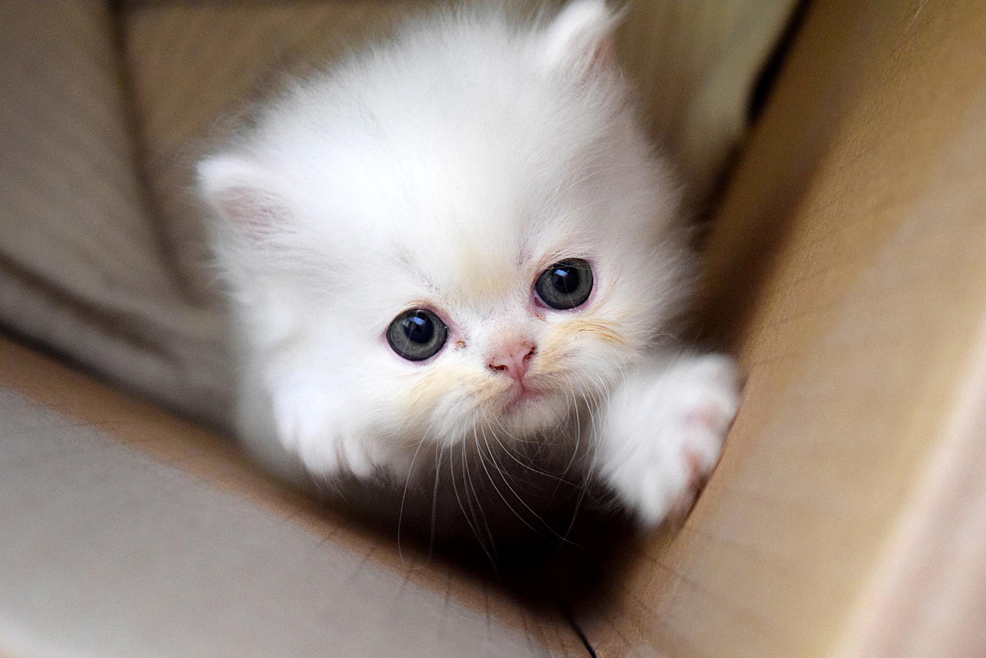 Pieni valkoinen kissanpentu pyrkii ulos pahvilaatikosta.