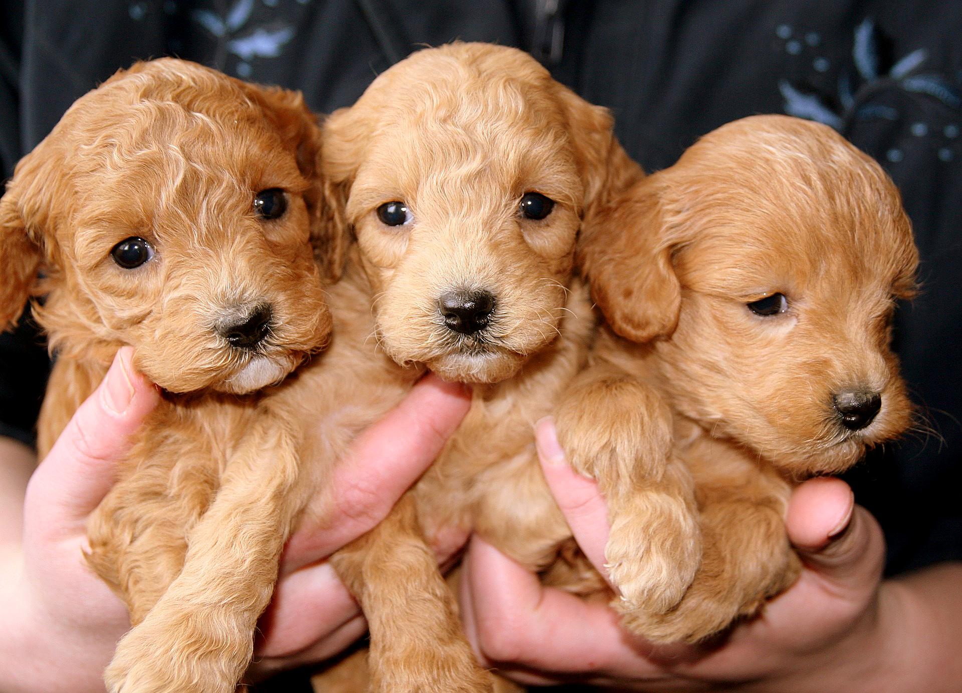 Kolme pientä koiranpentua ihmisen sylissä.