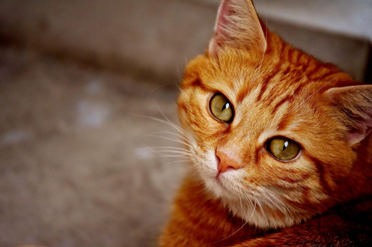 Ruskealla taustalla oranssinpunertava kissa, joka katsoo pää kallellaan kameraan. Eläinten viikkoa vietetään joka vuosi sadoissa kouluissa ympäri Suomen.