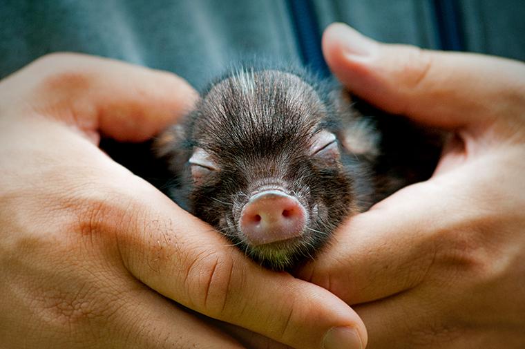 Vihertävään paitaan pukeutuneen ihmisen kämmenellä oleva pieni tumma minipossun poikanen. SEY Suomen eläinsuojelu on järjestänyt Eläinten viikon jo yli 60 vuoden ajan.