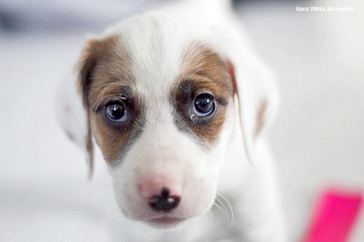 Vaalealla taustalla valkoruskea koiranpentu katsoo suoraan kameraan. Eläinten viikkoa vietetään joka vuosi sadoissa kouluissa ympäri Suomen.