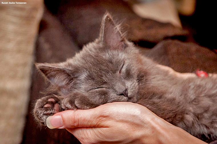 Ruskeasävyinen kuva, jossa harmahtava kissanpentu nukkuu levollisena ihmisen kämmenellä. Auta eläimiä Eläinten viikolla! Lahjoittaminen on konkreettinen tapa auttaa.